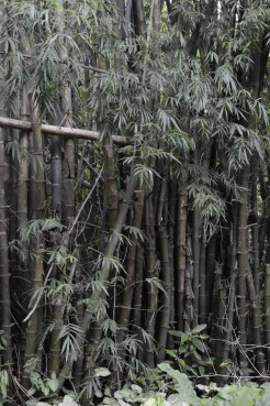 bambootrees