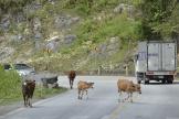 cowsinroad